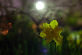 Nighttime Narcissus