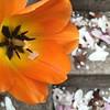 Tulipán y pétalos de magnolia