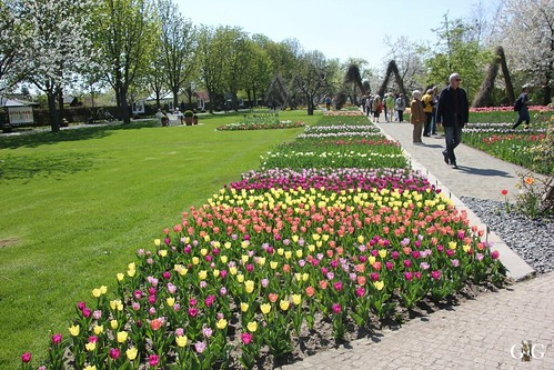 Tulipan im Britzer Garten 23.04.201531