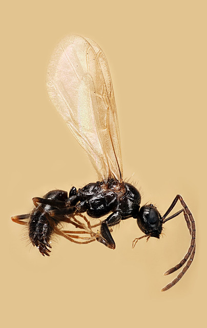Prenolepis, Ant, Coventry CT