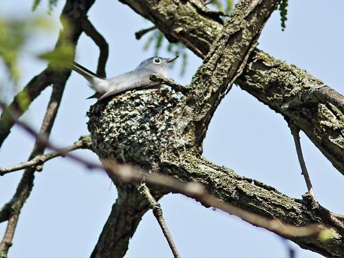 Blue-gray Gnatcatcher at nest 2-20150407