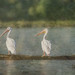 """""""Three White Pelicans"""" by Patti Deters"""