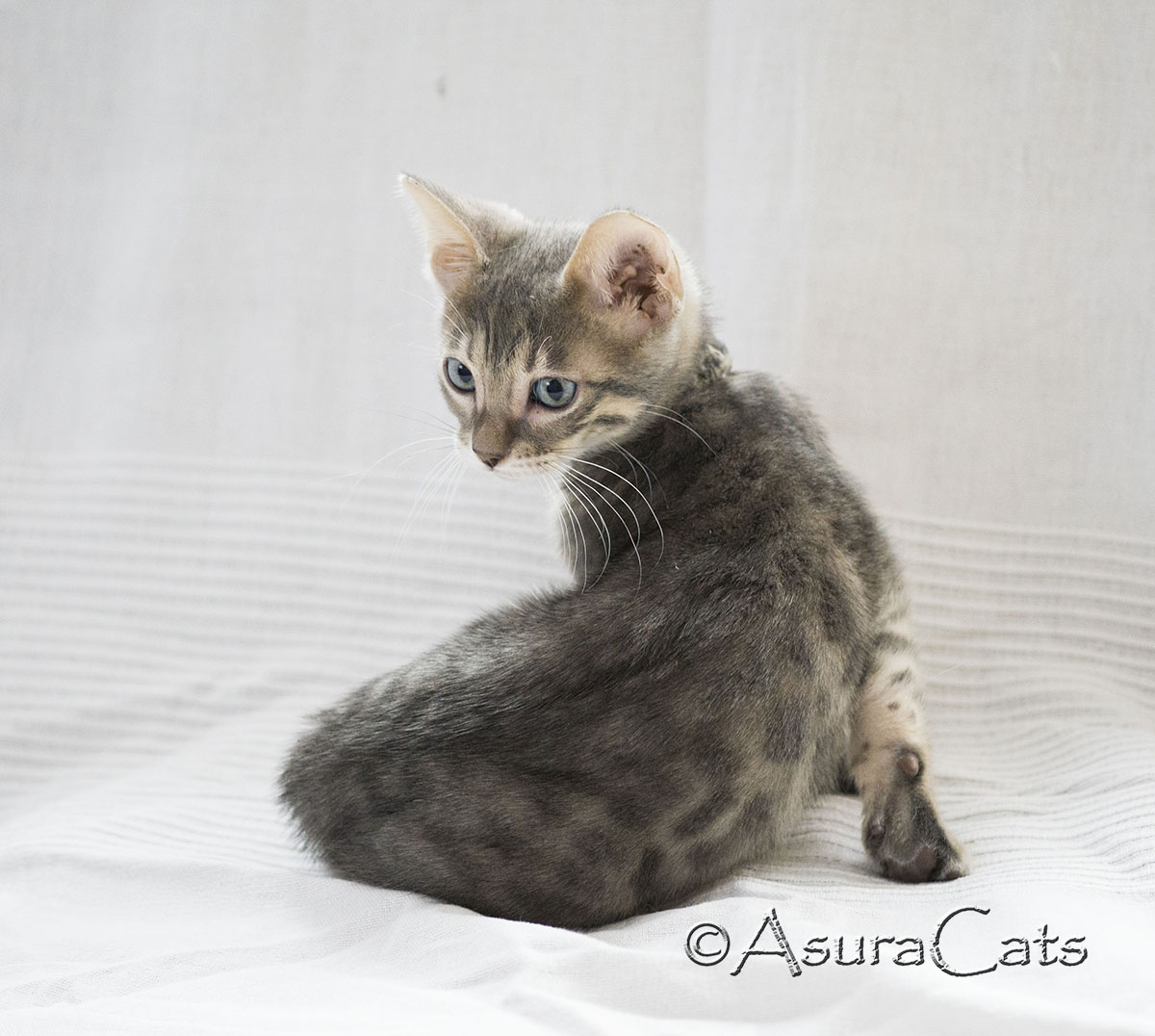 AsuraCats Blue spotted male Bengal kitten