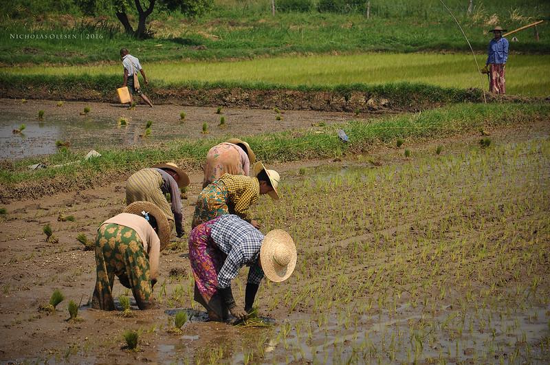 Inle Lake - Rice Planting