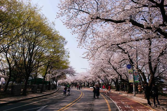 Seoul: Yeouido Spring Flower Festival