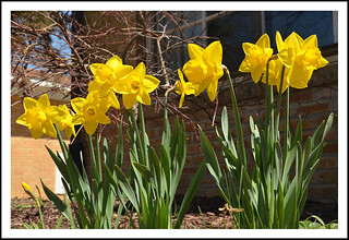 Daffodils Are Blooming at Last!