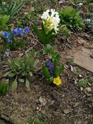 ヒヤシンスの脇からひょっこり咲いた黄花セツブンソウ
