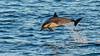 Long-beaked Common Dolphin with Remora, Gulf of California by bfryxell