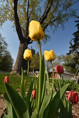 Yellow and red tulips - Photo of Gours