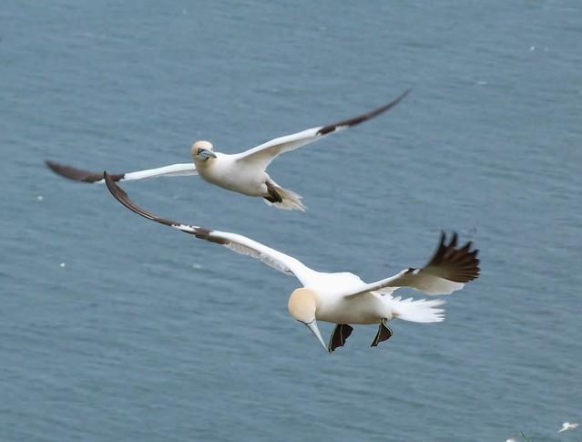 Alcatraces en pleno vuelo (costa de Yorkshire, Inglaterra)
