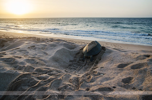 travel sky beach water sunrise landscape sand asia track turtle middleeast sur oman cheloniamydas greenturtle gulfofoman razaljinz razaljinzturtlecentre
