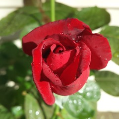 We had some really nice rain last night! #rose #garden