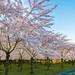 Bloesempark/ Cherry blossom park by Eric van Wijk