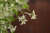 Closer view of our Jasmine flowers