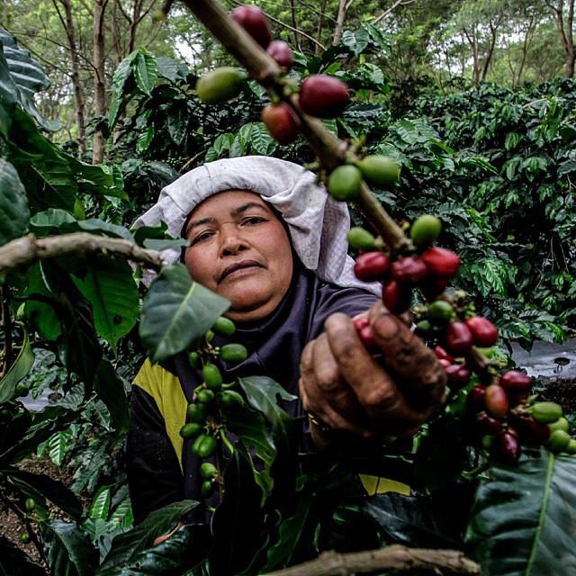Gayo coffee picking, Seorang petani sedang memetik kopi saat panen tiba di daerah dataran tinggi Gayo, Aceh Tengah, Provinsi Aceh.   Repost from @ishak_mutiara  #WisataAceh    More information follow @wisataaceh and visit website www.wisataceh.com