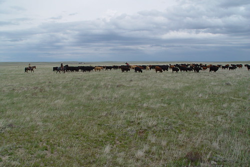 Moving cattle on the Northern Plains