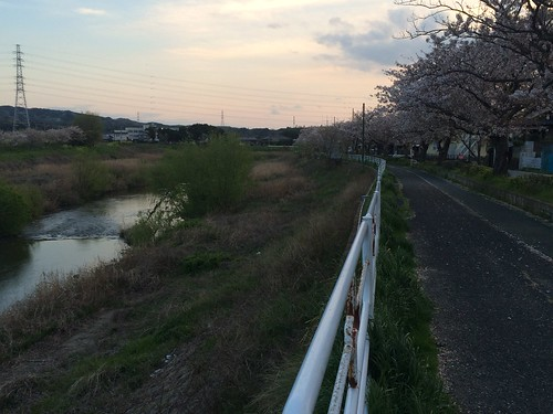 14_小糸川の桜_1