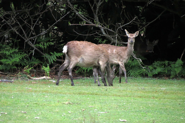 Deer on Brownsea Island