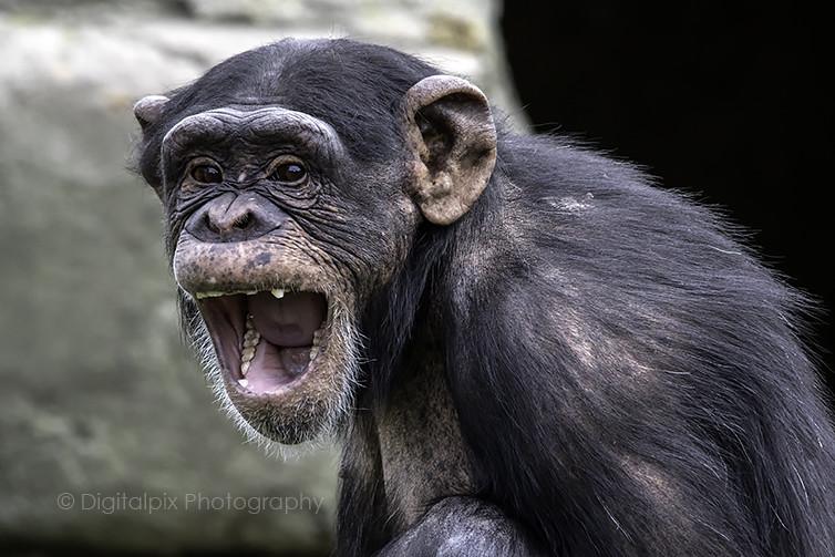 Bored Chimp