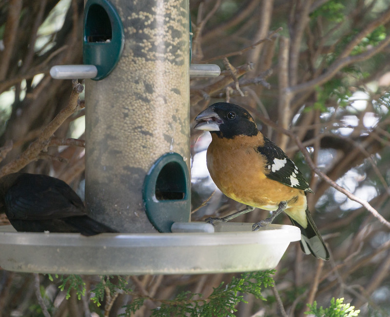 Black Headed Grosbeak 1