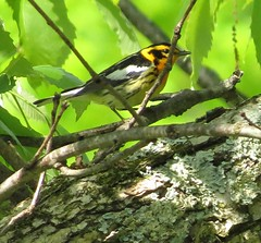 Blackburnian Warbler/ Cincinnati Nature Center/ 5-7-2016