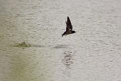 HolderFlyfishing Swallows. (2)