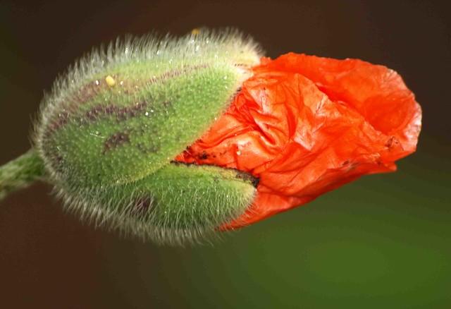 Poppy Bud 030