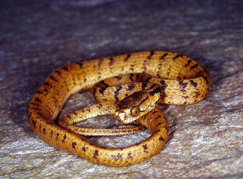 泰雅鈍頭蛇(林思民攝影)