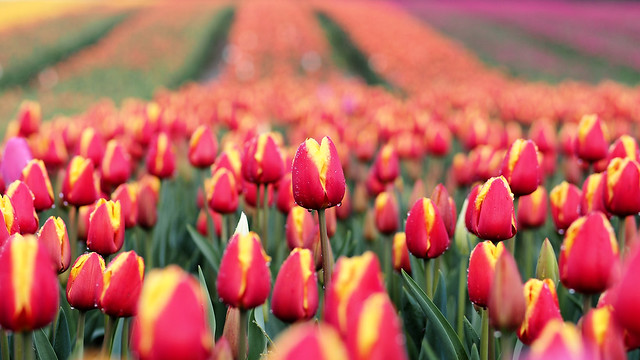 Tulips of the Valley, 2015