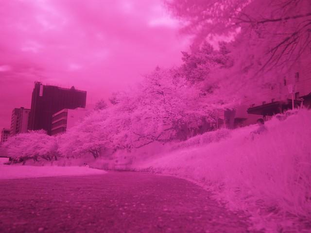 150404_IR_Sakura 2