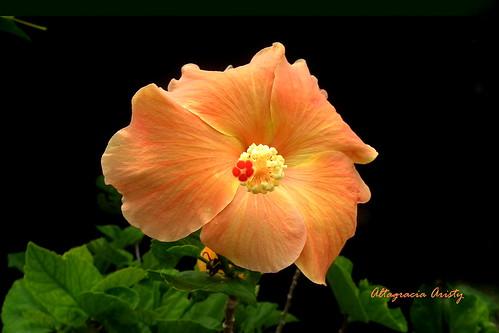 blackbackground américa dominicanrepublic hibiscus tropic caribbean antilles laromana cayena caribe repúblicadominicana hisbisco fondonegro caraïbe trópico antillas sfondonero quisqueya altagraciaaristy fujifilmfinepixhs10 fujihs10 fujifinepixhs10