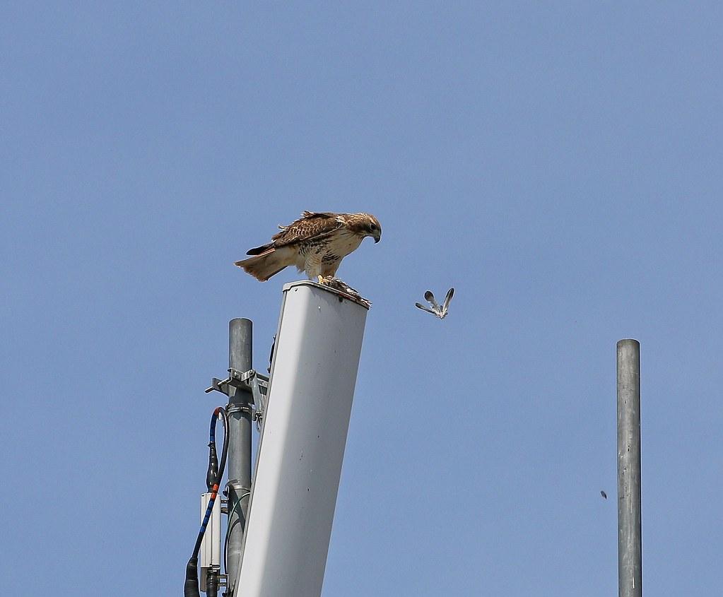 Christo plucks a pigeon
