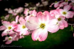 I love it when the Dogwoods are in bloom
