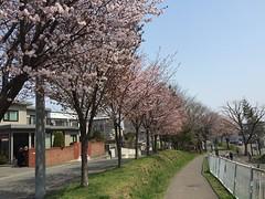 サイクリングロードの桜