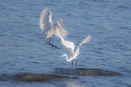 2 egrets fighting