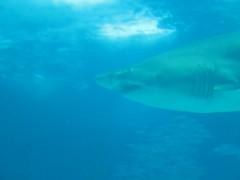 animal, fish, great white shark, shark, marine biology, lamniformes, underwater, carcharhiniformes, requiem shark, tiger shark,