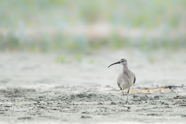 A whimbrel at the beach