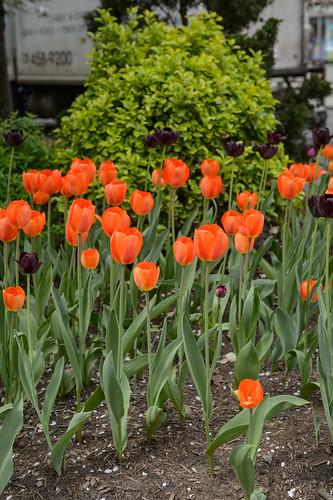 FilipWolak-LSBID-Tulips-6738