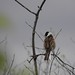 Reed bunting by rockwolf