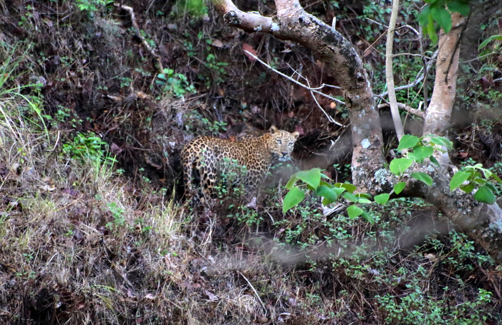 Leopard, looks back before disappearing