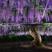 Wisteria Rain by Piriya Pete Wongkongkathep