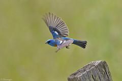 Lazuli jump shot