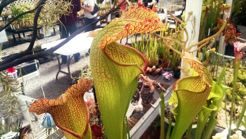 Sarracenia 'Deep Throat'