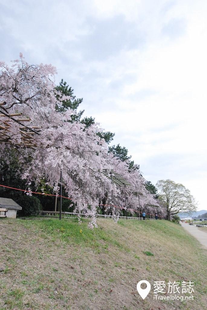 京都赏樱景点 半木之道 16