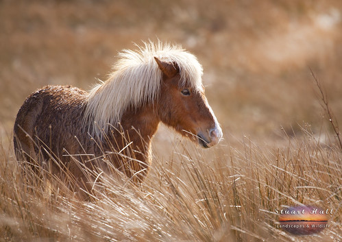 Star the Shetland pony