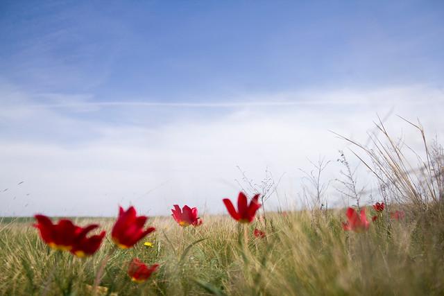 Wild tulip in Russia