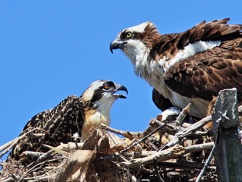 Osprey adult and chick 2-20150409