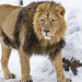 Radja walking in the snow by Tambako the Jaguar