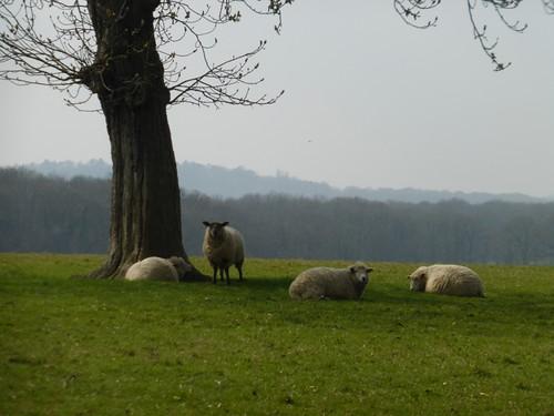 Sheep snoozing