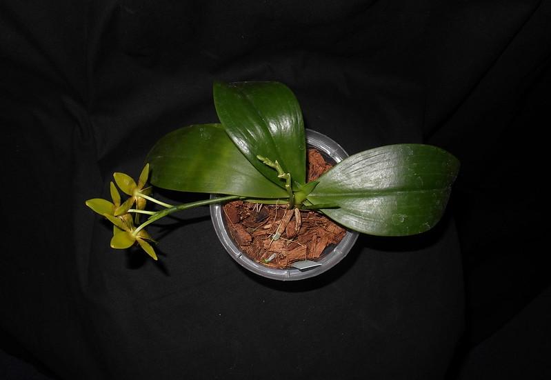 Phalaenopsis amboinensis x cochlearis (Amblearis ) 17153800727_10f5183d40_c